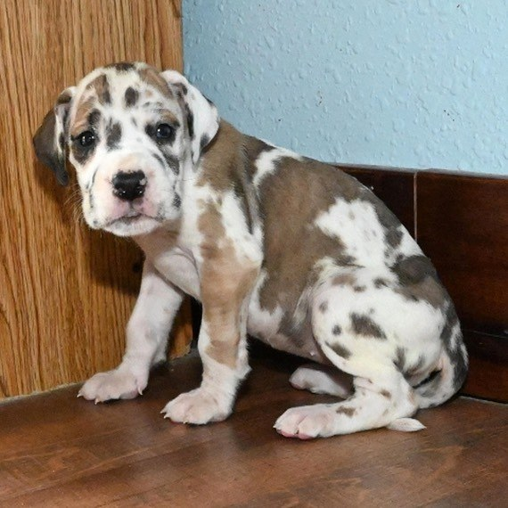 Great Dane Puppies For Sale In Ga