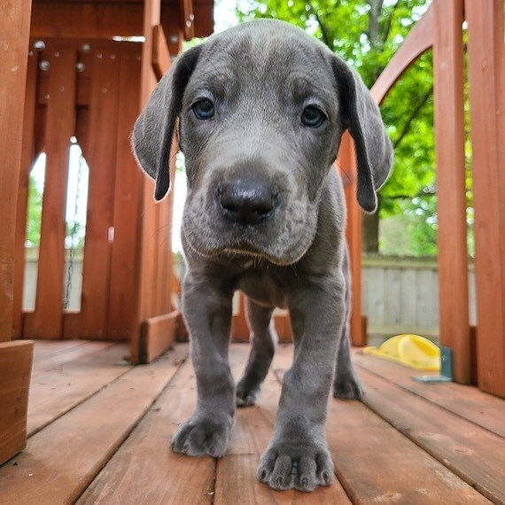 Great Dane Puppies For Sale In Pa