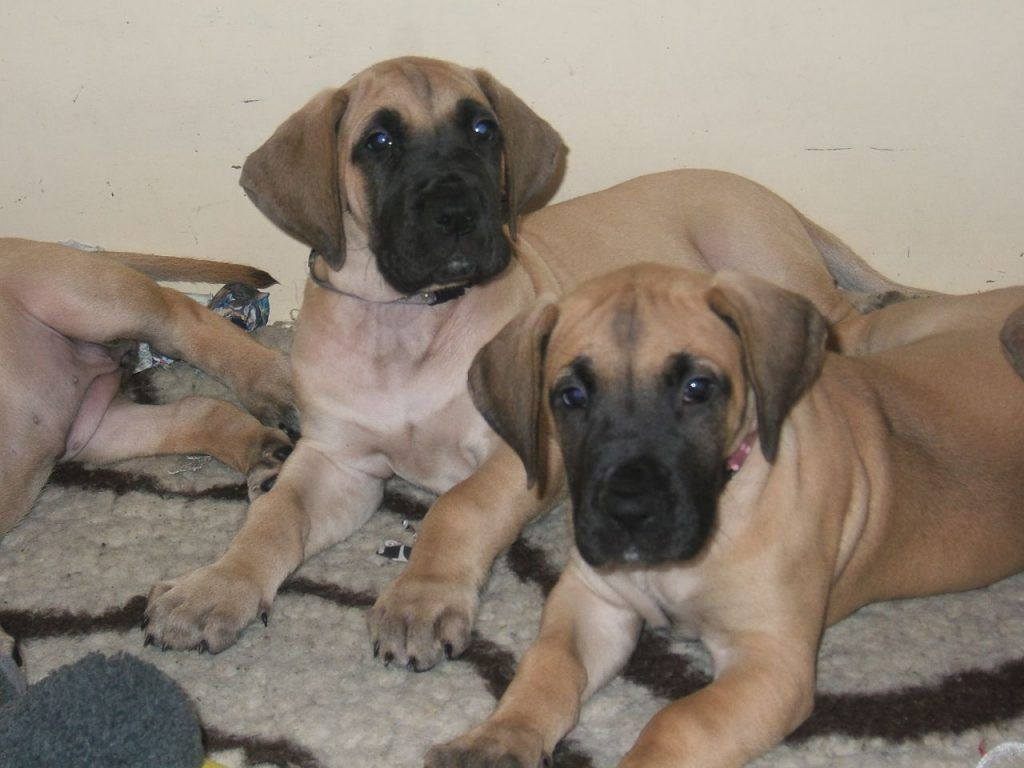 Where Can I Get A Great Dane Puppy